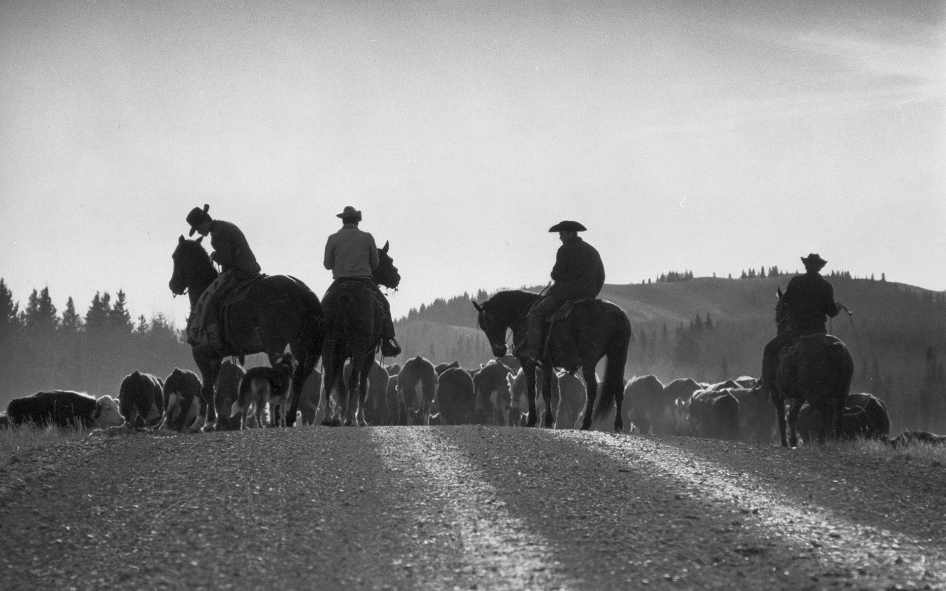 Cowboys ride herd during annual roundup in western Canada